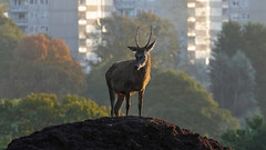 King of the HIll (shaftination) Tags: cervuselaphus deer reddeercervuselaphus autumn autumnal buildings cervus cloven colorfulcolourful dirt early elaphus fall flats fur game hirise majestic mammal morning mound orange pricket red regal rich royal ruminant urban vibrant