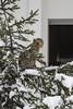 Young macaques exploring in the first snow (Korkeasaaren eläintarha) Tags: korkeasaareneläintarha eläintarha korkeasaari högholmensdjurgård djurgård helsinkizoo högholmen zoo animals zooanimals berberiapina barbarymacaque macacasylvanus