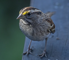 White-throated sparrow (Doug Greenberg) Tags: sparrow whitethroatedsparrow bird
