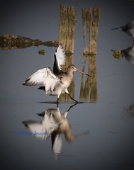 Black-tailed Godwit. (Albatross Imagery) Tags: flickr instagram photographer photo photography sigma nikon uk rspb wildbirds wildlife bird birds waddingbirds blacktailedgodwit