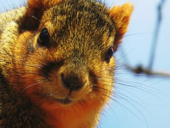 IMG_4594 (kennethkonica) Tags: nature canonpowershot global random hoosiers marioncounty midwest america usa indiana indianapolis indy colors animaleyes animal outdoor c animalplanet squirrel rodent macro whiskers november autumn stare cute wildlife wild