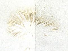 Hohenbuehelia oder Crepidotus, Volkspark Mariendorf, Berlin, NGID270322811 (naturgucker.de) Tags: ngid270322811 naturguckerde 915119198 92636685 865714930 cwolfgangkatz