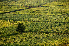 Tout vert (Bruno MATHIOT) Tags: green vigne seul alone vignes arbre tree nature 55250 alsace france french outdoor extrieur wolxheim molsheim 760d canon