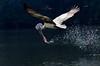 Pelican (RRJOIS) Tags: pelican rangantittubirdsanctuary rangantittu indianphotographers mysore karnataka birdflight indianbirds