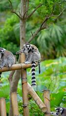DSCF0440_1_2_natc (naofumitaguchi) Tags: xm1 fujifilm tokyo japan    naofumitaguchi  wolverine lemur monkey