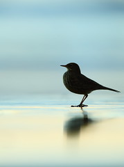 Rock pipit (Mike Mckenzie8) Tags: anthus petrosus british uk wild wildlife bird silhouette dusk beach tide water sea coast