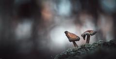 C'est reparti pour les champi ! (Hexilene) Tags: nikon nikonpassion nature nikond750 macro macrodreams mushroom sigma sigma105mm bokey