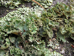 Lichen (chaerea) Tags: bc canada forest fungi mushroom mycology nature woodland lichen algae urbannature treetrunk