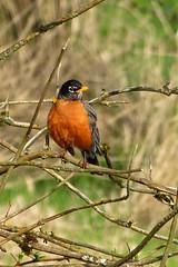 American Robin (Delta Naturalists Casual Birding) Tags: 201414 dncb colony dncblocation