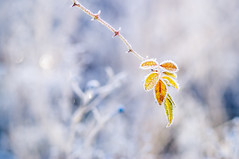 _DSC0018-2 (Mehmet Salam) Tags: tair11a135mmf28 sonyalphaslta37 nature frozen freezing leaf depthoffield bokeh winter autumn fall sovietlenses