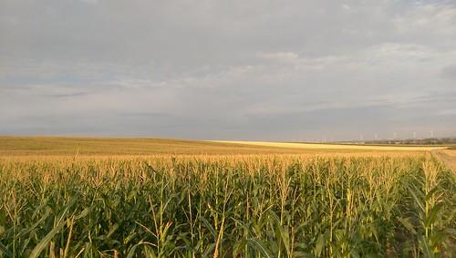 Maisfeld bei Selzen