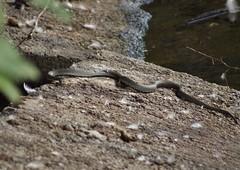 Grass snake (nesihonsu) Tags: nature reptile snake poland polska grasssnake zaskroniec diapsida squamata natrixnatrix squamate lowersilesia dolnolskie dolnylsk agiewniki przyrodapolska natureofpoland przedgrzesudeckie wzgrzaniemczaskostrzeliskie wzgrzaagiewnickie krzywula krzywna zbiorniknakrzywuli