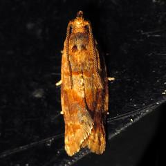 IMG_4588c (Ash Bradford) Tags: animal animals bug insect md flash moth maryland insects bugs lepidoptera moths arthropods animalia arthropoda arthropod hexapod insecta dcr250 raynox hexapods hexapoda img4588 orangemoth sx30 patternedmoth rgspbioblitz