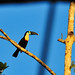 Withe-Throated Toucan (Ramphastos tucanus)