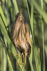 Ixobrychus minutus (jlvalinha) Tags: españa aves mérida extremadura garza ixobrychusminutus minutus garzas garçapequena ixobrychus avetorillo