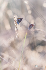 Faux reflets (photosenvrac) Tags: macro nature bokeh papillon flare insecte beaugency natura2000 thierryduchamp