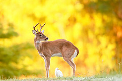 White-tailed Buck and Cattle Egret (Let there be light (A.J. McCullough)) Tags: morning texas deer whitetaileddeer brazosbend brazosbendstatepark