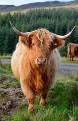 Scotland Hiking 2015 (olythompson) Tags: light summer hairy orange nature scotland cow cattle ben hiking highland chonzie kinlochard