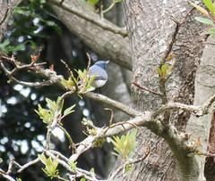 Myiagra rubecula 5 (barryaceae) Tags: new bird birds wales south australian australia aves flycatcher australianbirds taree leaden rubecula myiagra ausbird ausbirds