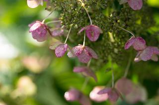 Dew Covered Hydrangea