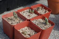 Mesemb seedlings (cjbaker4) Tags: cheiridopsis argyroderma mesembs ihen ihlenfeldtiavanzylii aloinopsisrubrolineata antimimafenestrata