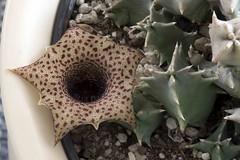 Huernia Barbata (Harry-Harms) Tags: africa succulent carrionflower huernia aasbloem