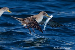 Lunch (Nicholas Ferrary) Tags: sea seagulls nature water nikon wildlife seagull sealife naturalhistory shearwater tuna gibraltar mediterraneansea seabirds marinelife flyingfish corysshearwater straitsofgibraltar bluefintuna vr2 200400mm d810 baitball bayofgibraltar nikond810 nikon200400mmvr nikon200400vr2 gibraltarwildlife nicholasferrary d800e nikond800e