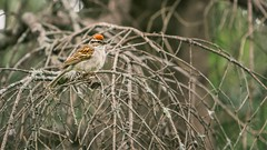 Chipping Sparrow (Paul Balchin) Tags: trees brown green bird bokeh branches sparrow lichen chipping