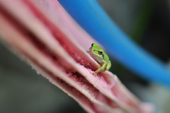 Frog (Yuta Ohashi LTX) Tags: pink blue color green 35mm nikon frog fixed f18 focal   d90  primelens
