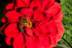 Macro-24762.jpg (CitizenOfSeoul) Tags: flower macro germany deutschland blumen bee garten biene dahlien sersheim