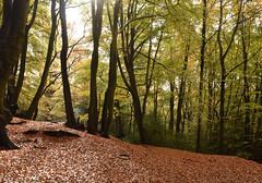 Undulating forest carpet (amanda.parker377) Tags: trees sunshine rain forest eppingforest autumncolours fallingleaves essex