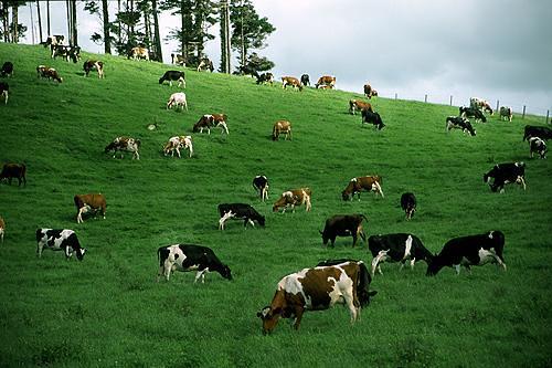 trang trại bò
