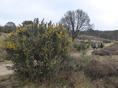 Springfeelings in wintertime, genista blooming at Posbank (at https://youtu.be/pChu4i_qFE0) Tags: winter yellow postbank veluwe genista