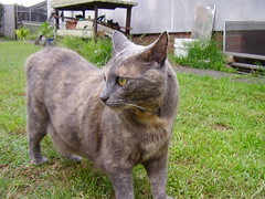 Josie (Matilda&Charlie&Josie ~ MCJ) Tags: rescue cat josie 9yo greybluecreamtortoiseshell estimateddob3rdjune2006