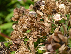 Brown Nature (Tony Worrall) Tags: life wild england brown flower color nature closeup season outdoors petals cool nice colours natural bright live north grow growth bloom bud colourful sunlit hue grown 2015tonyworrall