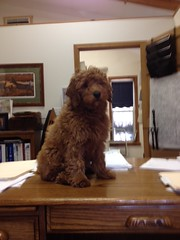 yogi-is-helping-in-the-office--he-is-one-of-sandy-and-chewys-boys_12036370926_o
