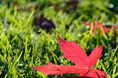 Folha . Leaf (Rute P) Tags: red green grass leaf nikon vermelha folha relva 2015 d7100 18140mm