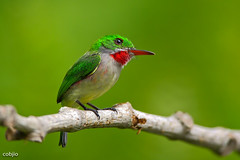 C57A9791- Barrancoli -Todus subulatus - Broad-billed Tody (Carlos A. Objio Sarraff) Tags: 도미니카공화국 多明尼加共和國 ドミニカ共和国 dominicana todidae todus narrowbilled tody details colours colour colors color clouds cloud republicadominicana photography perspective nature naturaleza magic luminosity image red environment sky photo caribe caribbean broken brilliant blanco aves yellow tropical rojo mountain mount multicolore green wildlife todussubulatus barrancoli contrast santodomingo detalles stamp specanimal barrancolibroadbilledtodytodussubulatus broadbilledtody canoneos5dmarkiii arroyomaracacountryclub bestofblinkwinners доминиканскаяреспублика canon7d canonef500mmf4lisusm carlosaobjiosarraff dominikanischerepublik dominikanskarepubliken dominicanrepublic jarabacoa lahispaniola quisqueya repiblikdominikèn républiquedominicaine hispaniolabirds todieràbeclarge adfona dominicanendemicbirds