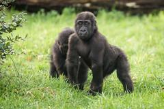2015-12-17-13h14m52.BL7R3036 (A.J. Haverkamp) Tags: zoo gorilla arnhem thenetherlands burgerszoo dierentuin madiba westernlowlandgorilla westelijkelaaglandgorilla canonef100400mmf4556lisusmlens httpwwwburgerszoonl pobarnhemthenetherlands nkato dob13062013 dob24102013