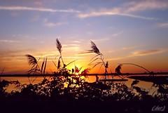 ___ pennacchi al tramonto ___ Explore! (erman_53fotoclik) Tags: pennacchi profili neri natura vegetazione canne tramonto sunset cielo aloni colore rosso sole cala deltadelpo valli rosolina rovigo veneto controluce erman53fotoclik panasonik dmc fx10 calma crepuscolo paesaggio laguna campo
