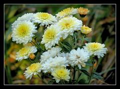 allen ein schnes Wochenende !!! (karin_b1966) Tags: blume flower blte blossom pflanze plant garten garden natur nature 2016 chrysanthemen yourbestoftoday