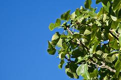 Fig tree (JOAO DE BARROS) Tags: barros joo fig botany tree fruit
