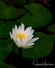 Water Beauty (jhambright52) Tags: macroflowers macro waterlily macrowaterlily