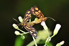 let's do it (DOLCEVITALUX) Tags: insect moth flora fauna philippines mating mate outdoor bokeh