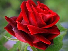 Big Red Rose (florenceranola) Tags: new harbour springs