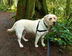 Gracie on the trail again (walneylad) Tags: gracie dog canine pet puppy lab labrador labradorretriever cute october fall autumn