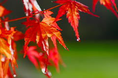 Japanese Maple (racerx6948) Tags: japanesemaple pacificnorthwest tree bokeh pentax autumn