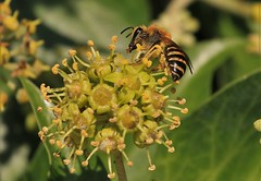 Ivy Bee (andyt1701) Tags: jersey