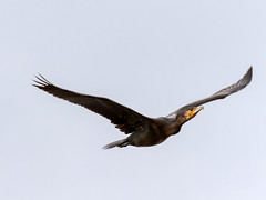 Cormorant_flight (JKonradsen Photography) Tags: salbufera albufera alcudia muro mallorca bird birds birdphotography nature naturephotography wildlife jkonradsen