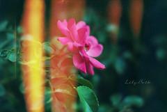 - (-LilyBeth) Tags: flowers rose nature natura nikon d3000 dof depthoffield wonderfulworld outside bokeh colors texture plants